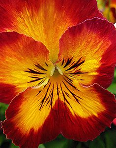 """Pansy Photography """"~ 02-10-14/Viola × wittrockiana #2~"""" by TravelsThruTheUniverse on Flickr."""