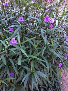 Mexican Petunia (ruellia brittoniana): Easy to grow, in sun or partial shade. Will reach a height of from mounding ground cover to up to 3' or larger, and spreads from seed as well as underground root systems. It can be invasive, but is also tough as nails, and will grow with little care or effort. Funnel shaped flowers are produced singularly, and range from purple to pinks and whites.