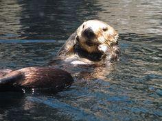 Cute sea otter at Monterey Bay Aquarium