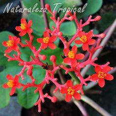 Flores en la inflorescencia típica de la planta Jatrofa, Jatropha podagrica