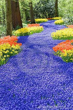 Beautiful field filled with spring flowers such as tulips and muscari: Along a back Fence to look like a stream running along the edge of the yard - WOW! What a beautiful sight.
