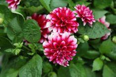 Twenty Evergreen Shrubs For Non-Stop Color | HGTV Pink Perennials, Best Perennials, Growing Flowers, Planting Flowers, Evergreen Flowering Shrubs, Shrubs For Landscaping, Mailbox Garden, Night Blooming Flowers, Shade Shrubs