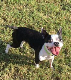 Boston Terrier dog for Adoption in Plano, TX. ADN-674582 on PuppyFinder.com Gender: Male. Age: Adult