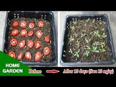 Tomatoes Gardening With Containers Tips for Growing Tomatoes with the familiar Tomato of the housewife - Tips For Growing Tomatoes, Growing Tomato Plants, Growing Tomatoes In Containers, Growing Veggies, Grow Tomatoes, Growing Tomatoes Indoors, Tomato Garden, Vegetable Garden Design, Fruit Garden