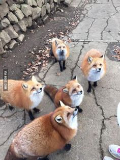 Zao Kitsune Village in Japan, home of adorable, tame foxes! Just don't mix bunny island and fox island together, Japan. Animals And Pets, Baby Animals, Funny Animals, Cute Animals, Animal Memes, Wild Animals, Funny Foxes, Small Animals, Animal Quotes