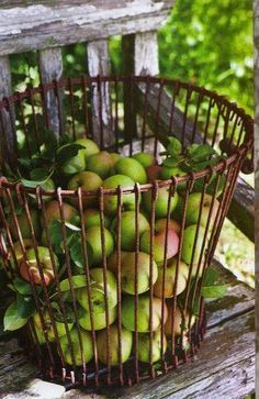 Apple Harvest in a Wire Basket ....