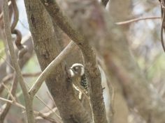 """This is a """"Japanese pygmy woodpecker """" or """"kogera"""" in Japanese . I took this photo in Japan on Feb 5 2016."""