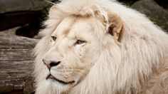 white mane wild lion wallpaper download high quality