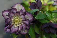 Hybrid Lenten Rose for sale buy Helleborus x hybridus 'Harlequin Gem'