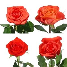 FiftyFlowers.com - Dark Orange Roses