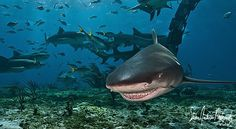 The Lemon Shark Smile from Tiger Beach in the Bahamas