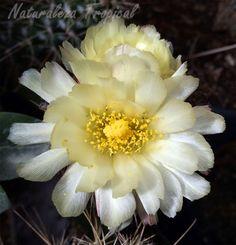 Flor hermosa de un cactus                                                                                                                                                      Más