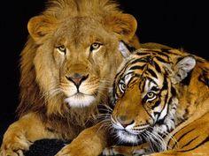 картинки на робочий стіл - Великі кішки: http://wallpapic.com.ua/animals/big-cats/wallpaper-32064