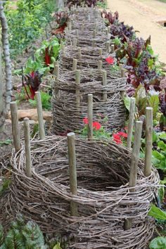Baskets help force stems of Rhubarb: limiting the light allows rhubarb stems to grow taller, stay paler & taste less bitter #potagergarden