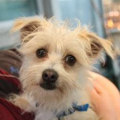 14713_Herbie is an adoptable Terrier Dog in Oakland, CA. Hi there. My name is Herbie. I'm a small tan terrier mix with a big heart and lots of love to give. I like running in the yard and going for wa...