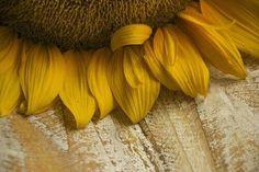 Sunflower Fields, Yellow Sunflower, Ivy House, Golden Days, Colour Pallette, Face Light, Autumn Garden, Mellow Yellow, Mustard Yellow