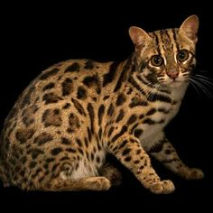 Leopard Cat (Prionailurus bengalensis) - photo by Joel Sartore, via National Geographic of photo taken at Angkor Centre for Conservation of Biodiversity, Cambodia Small Wild Cats, Small Cat, Big Cats, Cool Cats, Gatos Serval, Serval Cats, Angkor, National Geographic, Gato Bengali