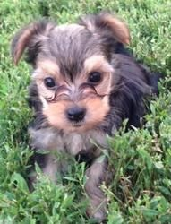Cora is an adoptable Yorkshire Terrier Yorkie Dog in Overland Park, KS. Cora is an 8 week old female Yorkie / Chinese Crested mix. Her mom is a yorkie and dad is a Chinese crested. Cora is a sweethear...Please click on pic for additional info on this fur baby❤❤❤❤❤❤❤❤