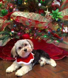 ~ Daily Dose of Cuteness ~  Is he cute enough for your Holidays Daily Dose of Cuteness? Merry Christmas from Rico! (Shared by Diana McCracken) #DogoftheDay http://aboutmorkies.com/ Follow us: Facebook.com/YorkiesMorkiesMaltese Twitter.com/morkienation #yorkies #yorkie #yorkielovers #petlovers #adorablepets #sillydogs #instadogs #instayorkie   #instapuppy #instaanimals #petsofinstagram #dogsofinstagram #yorkieofinstagram #puppylove  #animallovers