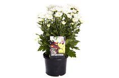 Chrysanthemum #pohlmansnursery #livingcolour #gardening #australia