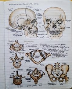 Anatomy & Physiology I can use my art skills to study! This is genius! Nursing School Notes, College Notes, Medical School, Anatomy Study, Anatomy Park, Grey's Anatomy, Medical Anatomy, School Study Tips, Forensic Anthropology