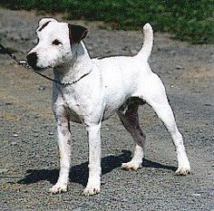 "Parson Russell terrier - the only other small dog I've ever fallen in love with.  The one I met, another ""Petey,"" was adorable and very well behaved.  What's nice is that a friend of mine adopted him, so I get to hear stories of his exploits still. :)"