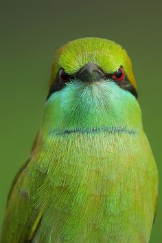 Green Bee-eater (native to sub-Saharan Africa, western Arabia and Asia through India to Vietnam)