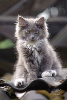 Cat on a tin roof. Can't say if it's hot or not. LOL…..MUST BE HOT -- LOOK AT KITTIES' FUR STANDING ON END----OR, IT'S ELECTRIFIED!!!…………..ccp