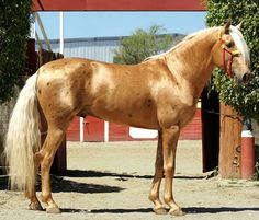 Pura Raza Española cruzado stallion, Morante. Flashy palomino with prominent Bend-Or spots.