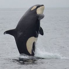 J45 Se Yi Chn, who has been described as a big whale trapped in a little whale's body. He was born in 2009.