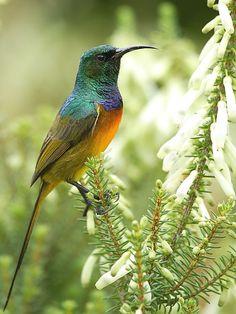 South African birds: Orange-breasted Sunbird » Wildlife Insight