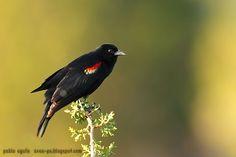 mis fotos de aves: Tordo sargento [Agelaius phoeniceus] Red-winged bl...