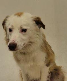 Utah Dogs Spanish Fork Ut Border Collie Meet 58083 Ollie A