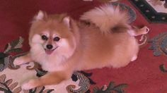 The Monkster pomeranian, cute dog.