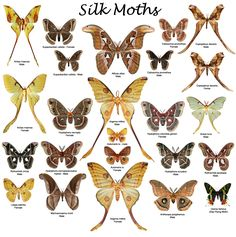 Google Image Result for http://butterflies.aa6g.org/Butterflies/Cd/silk_moths.jpg      Silk moths