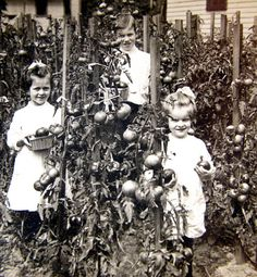 Children Harvesting Tomatoes Antique Photo. Get more info about when to pick your tomatoes: http://www.tomatodirt.com/harvesting-tomatoes.html