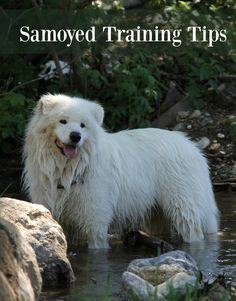 You have to approach Samoyed dog training a little different than with other dogs because of their high energy. Check out our Samoyed Dog training tips!