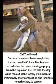 During a factory explosion in China, a monkey was recorded on camera saving a puppy. #SentientBeing