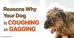 Coughing And Gagging In Small Dogs