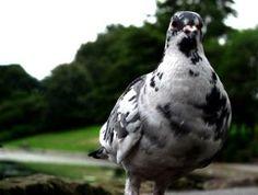 pigeon patch