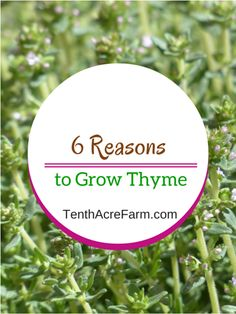 6 Reasons to Grow Thyme:  Thyme is a common herb in the herb garden. Here are six reasons why you should add thyme to your garden.