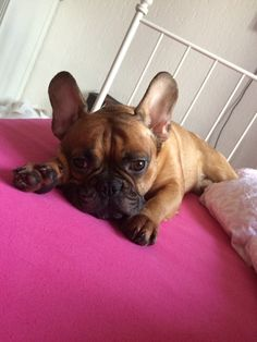 'Frenchie on a Hot Tin Roof', French Bulldog on a Vintage Iron Bed, just Like 'Maggie the Cat'.