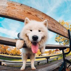 Photo of the Day! Puck the #pup here to brighten up your Monday. #: @samoyedpuck. Share your favorite 4-legged friends with us at gorpo.com/awards. #GoPro # #random #L4L #travel