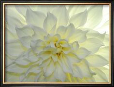 Close Up of a White Dahlia Flower Photographic Print by Raul Touzon at Art.com