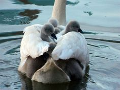 "Wendy Ingram writes: ""These little cygnets finally made it into this world and are taking a safe ride on their mother's back."" - Wendy Ingram photo    http://www.thestar.com/news/article/1187562--wild-toronto-cygnets-hitch-a-ride-with-mother-swan#"