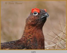 The Red Grouse (Lagopus lagopus scotica) photograph by Steve Round ¶ I love these autumnal colors.