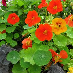 Stone Container Garden with Nasturtiums. Great container garden flowers. They come in many colors and are easy to grow and very hardy. They thrive in poor soil and you can eat the flowers and leaves. The round leaves are beautiful and are very spicy - a great addition to a summer salad.