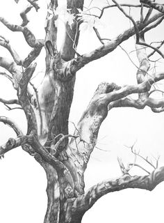 Keystone Ancient Forest Graphite Pencil Drawing By Fran Hardy