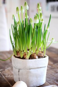 White hyacinths in pot
