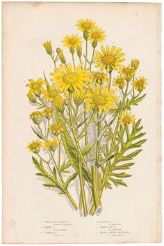 Anne Pratt antique 1860 botanical print, Pl 125 Ragwort, Flowering Plants